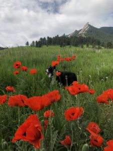 Pele, a black and white Australian shepherd, standing in a field of poppies with mountains in the background.