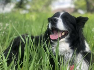 Pele, a black and white australian shepherd, smiling and lying down in a field of green grass.